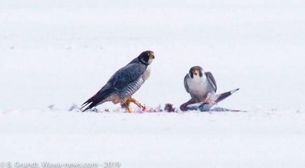 falcons-9059