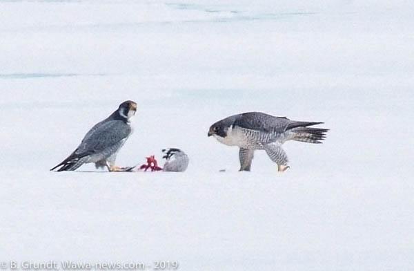 falcons-9091